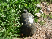 Tortoise on Monemvassio
