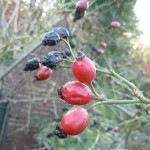 Rose Hips, our local superfood