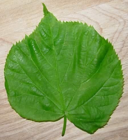 Lime Leaf