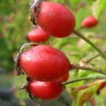 Rose Hips and Vitamin C