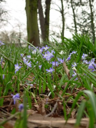 Bluebells at Brockley and Ladywell Cemetry