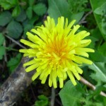 Dandelion Flower close up