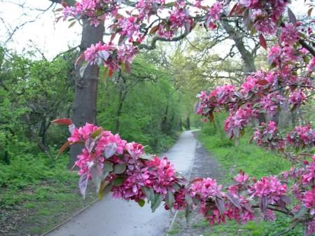 Peckham rye pink flowers