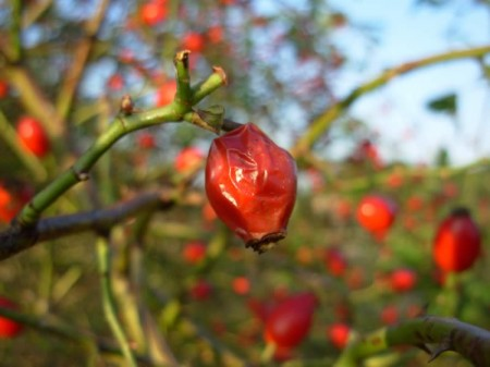 A very ripe rose hip