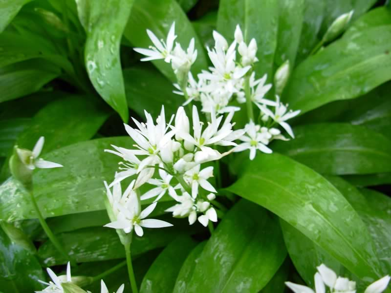 Wild Garlic Plant Wild Garlic Flowers