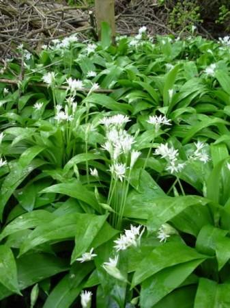 Wild garlic with flowers