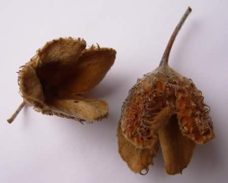 Beech nut outer shell
