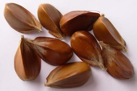 Beech nuts in shells