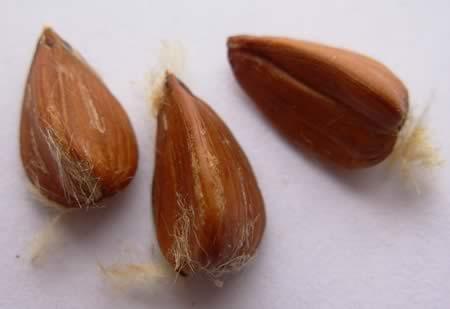 Beech nuts