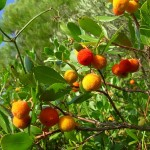 Arbutus unedo – The Strawberry Tree