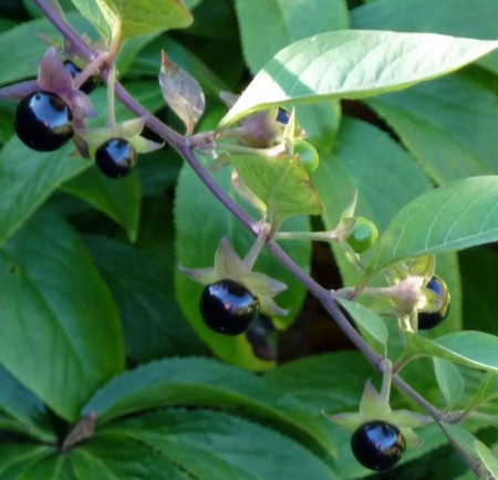 Deadly Nightshade photo copyright Wendy Cutler CC BY