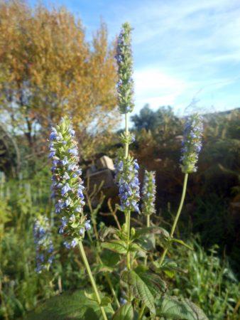 Chia Plants in flower